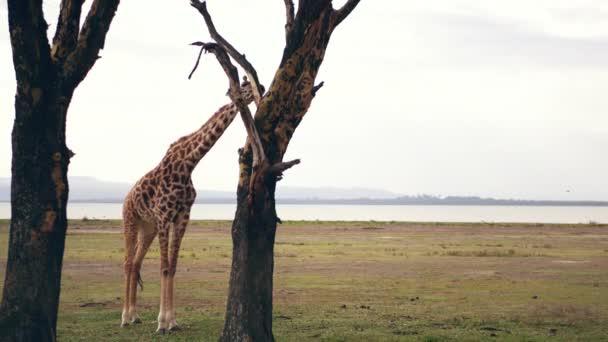 Africký divoký žirafa stojí na akát a jí stromová kůra, uspokojit hlad pro nedostatek vegetace, na pozadí jezera na horký den, 4 k