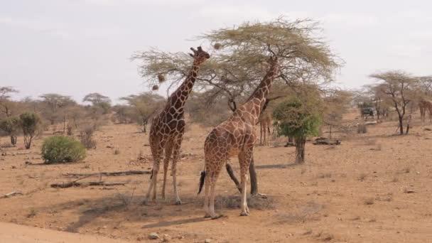 Africký divoký žirafy stojí poblíž suchý strom v Savannah s uzemnění pro červenou
