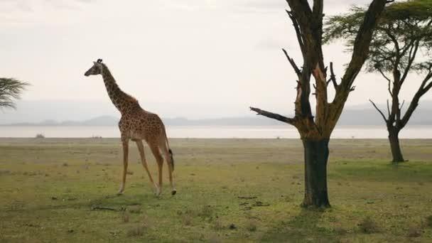Africká žirafa v savany poblíž akátu a jezero