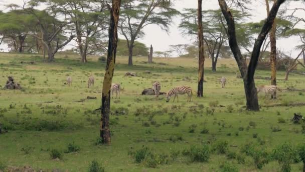 Africké zebry se pasou na zelenou louku mezi trnovníky