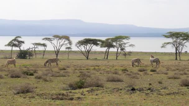 Africké zebry se pasou na zelené louce poblíž akácie a jezero