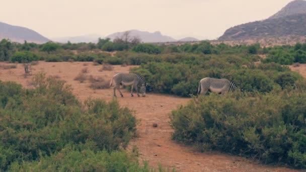 Africké zebry se pasou na planině mezi keři v období sucha