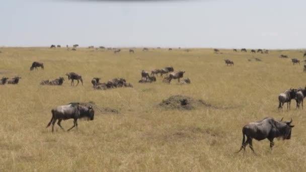 Stádo pakoně pastvy žlutých trávě v Savannah Masai Mara