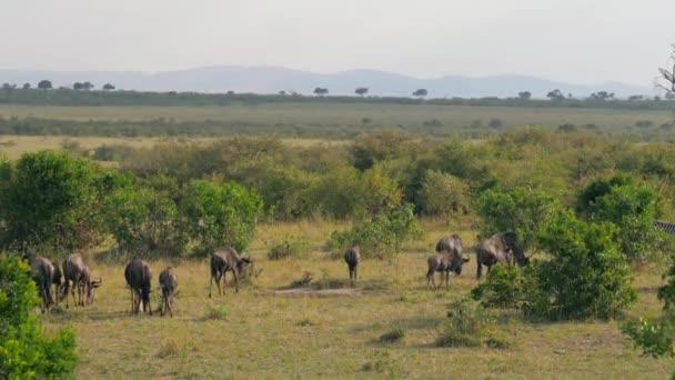 Stádo pasoucích se na zelenou louku mezi keři v africké savaně Gnu