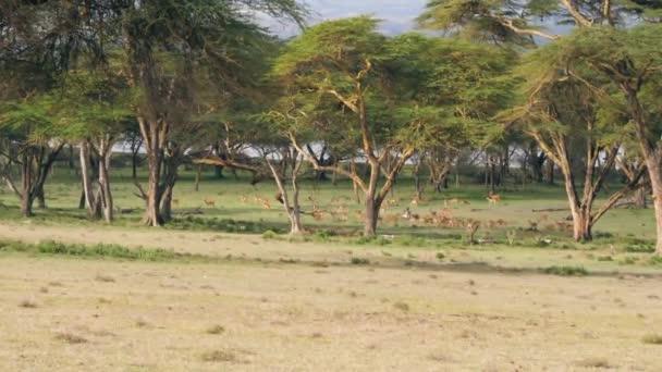 Velké stádo antilop pasou na zeleném trávníku v africké savaně