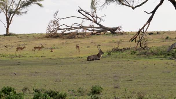 Kobus antilopa a Antilopa skákavá, spočívající na zelené louce africké savany