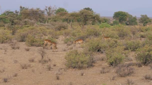 Samec antilopy s jeho ženy pasoucí se v křoví africké savany
