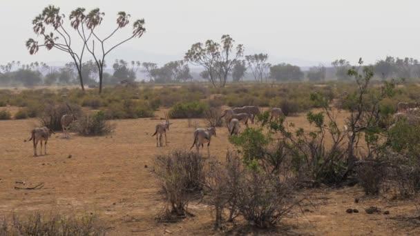 Eine Herde von Oryx Antilopen grasen In der heißen staubigen Wüste Savanne