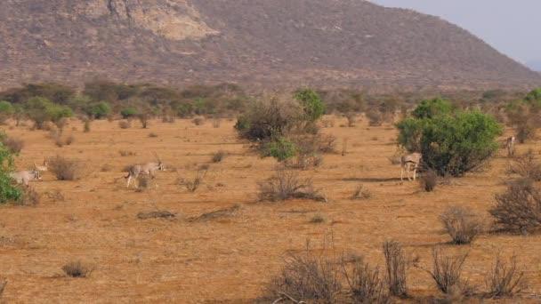 Oryx Antilope Lauf- und Beweidung In der afrikanischen Savanne