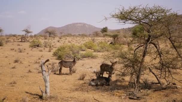Stádo antilop Waterbuck odpočívají ve stínu stromů rezervace Samburu