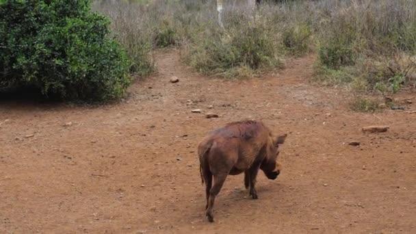 Warthog hledal nosem vůni potraviny v zaprášené červené zemi v Africe rezervy