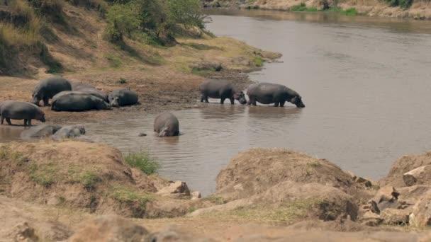 Afrikanische wilde Flusspferde wandern in den Fluss, um sich an einem heißen Tag abzukühlen