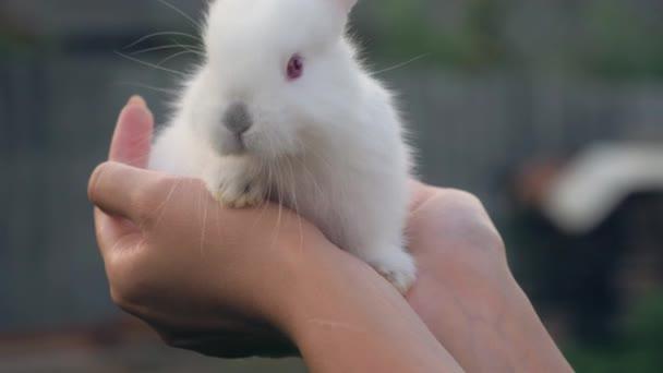 Detailní záběr rukou držel malý bílý králík Cub