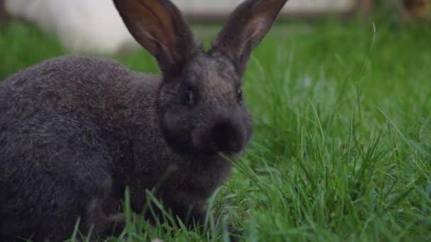 schwarzes lustiges Kaninchen mit großen Ohren springt auf eine grüne Wiese und frisst Gras
