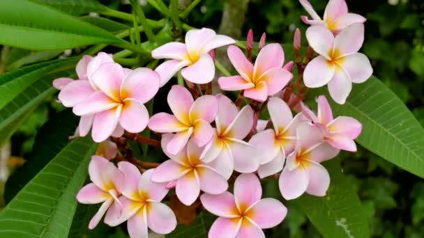 Close Up Of Amazing Frangipani Tree Flowers During Blossoming