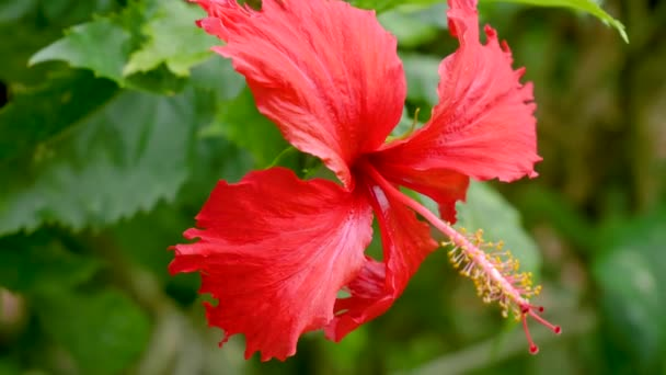 Amazing Hibiscus Rosa Sinensis Flower During Blossom