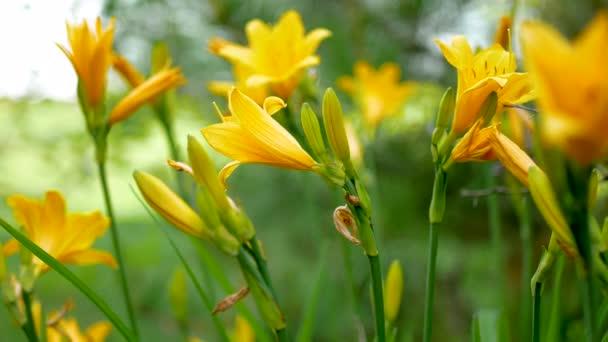 Krásné květy jsou žluté lilie