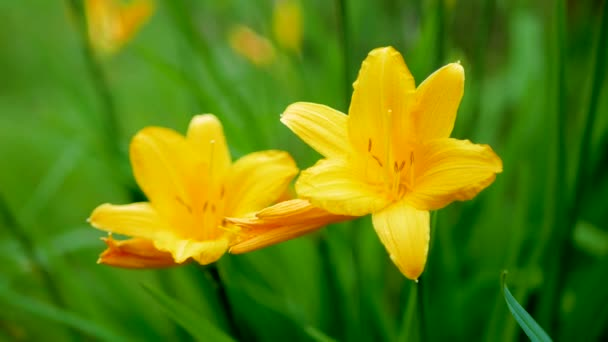 Flowers Are Yellow Lilies Are Blooming In Summer