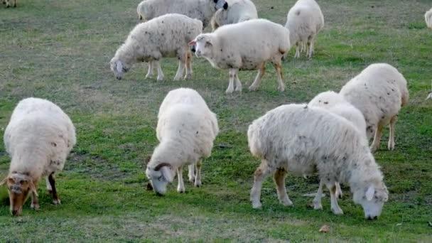 Stádo ovcí pasoucí se v poli na ranči jíst zelené trávy