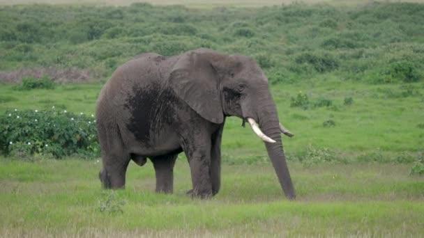 Blízko jedné dospělé divoké africké chůze po zelené planině v Savannah
