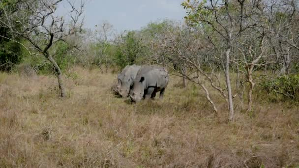 Rare Wild Adult African Wild Rhinos Grazing Grass By The Bushes In Reservation