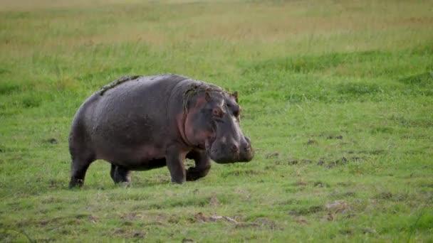 wildes Nilpferd wandert durch Weide mit frischem grünen Gras in afrikanischer Ebene