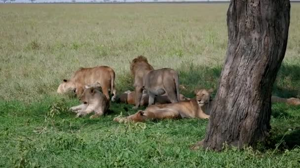 Hrdosti divoké lvi leží na trávě a odpočívej pod stínem stromu v žáru