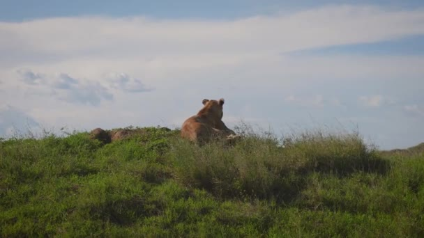 Wild Lioness Lies On A Hill And Looks Out For Prey And The African Savannah