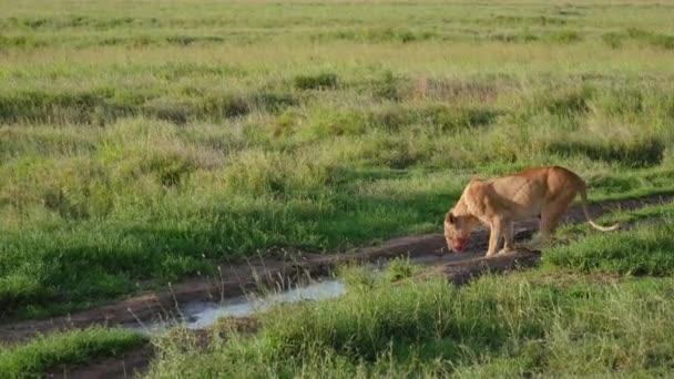 Afrikanische Löwin mit einem blutigen Gesicht biegt, um Wasser aus Pfützen in der Wildnis zu trinken