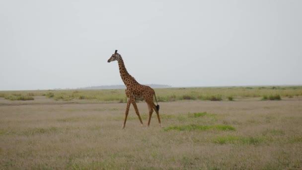 Mladé žirafy procházka na pláni v divoké africké Savannah