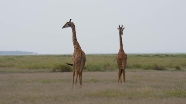 Wild African Giraffes Walking On The Pasture Plain In The Savannah