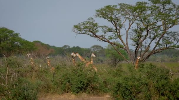 Herd Wild Giraffes Is In The Green Thickets Of The Jungle
