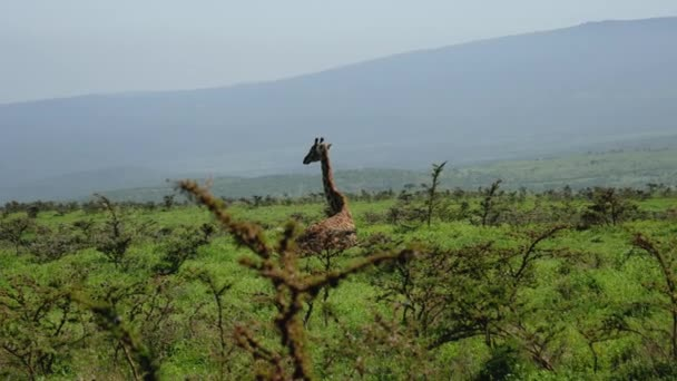 Giraffe Resting Lying On Grass On Hill Among Bushes With Thorns In Wild African