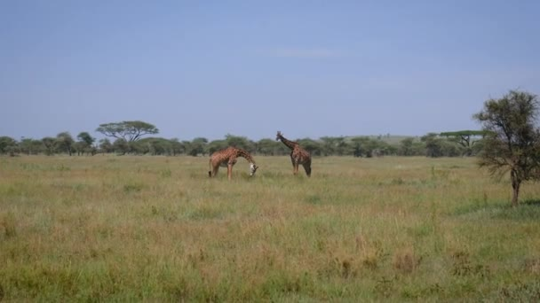 Two Giraffes Grazing In A Pasture In The African Savannah