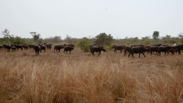 Big Herd Of Buffalo In The Pasture In Bush Of African Wild Savannah