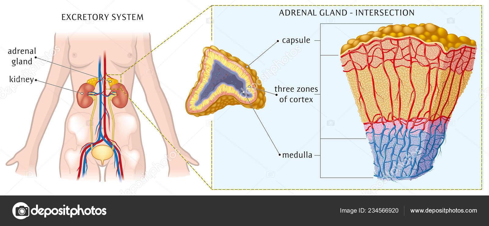 Vector Illustration Adrenal Gland Anatomy Stock Vector Lukaves