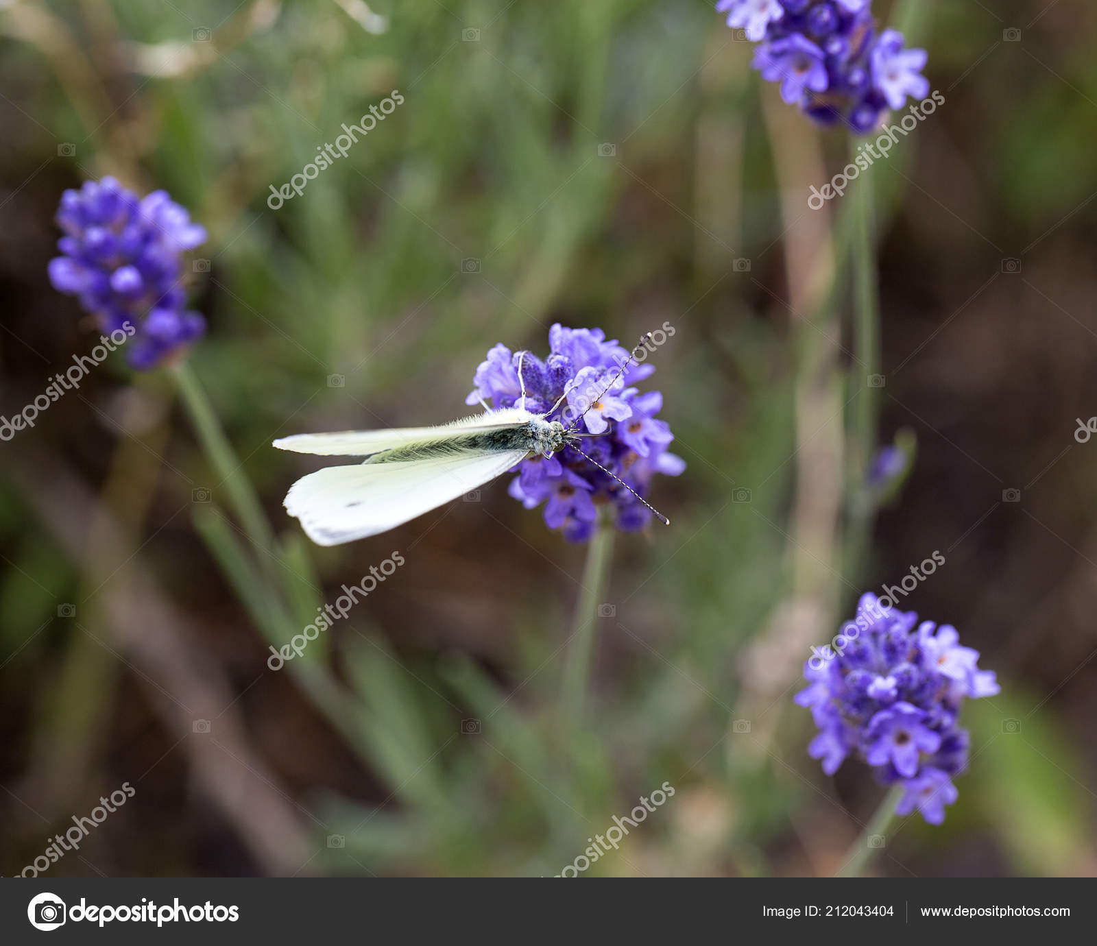 Lavender flowers blooming garden butterfly beautiful lavender field lavender flowers blooming garden butterfly beautiful lavender field stock photo izmirmasajfo