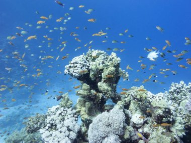 Colorful coral reef at the bottom of tropical sea, hard corals and fishes Anthias, underwater landscape