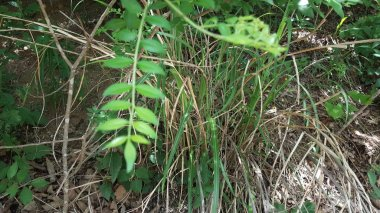 any of various green leaves of various shapes.