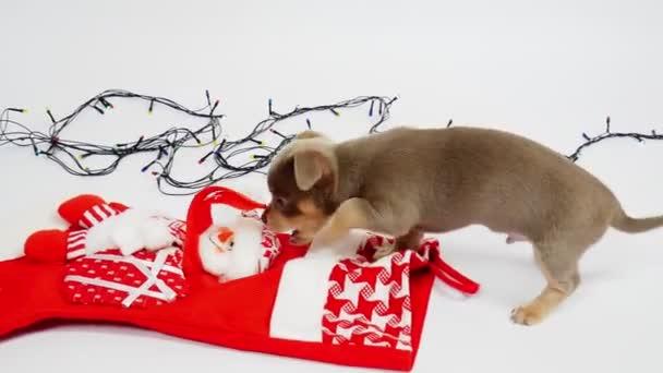 Chihuahua štěně. Vánoce nebo Nový rok. Štěně fouká vánoční bota