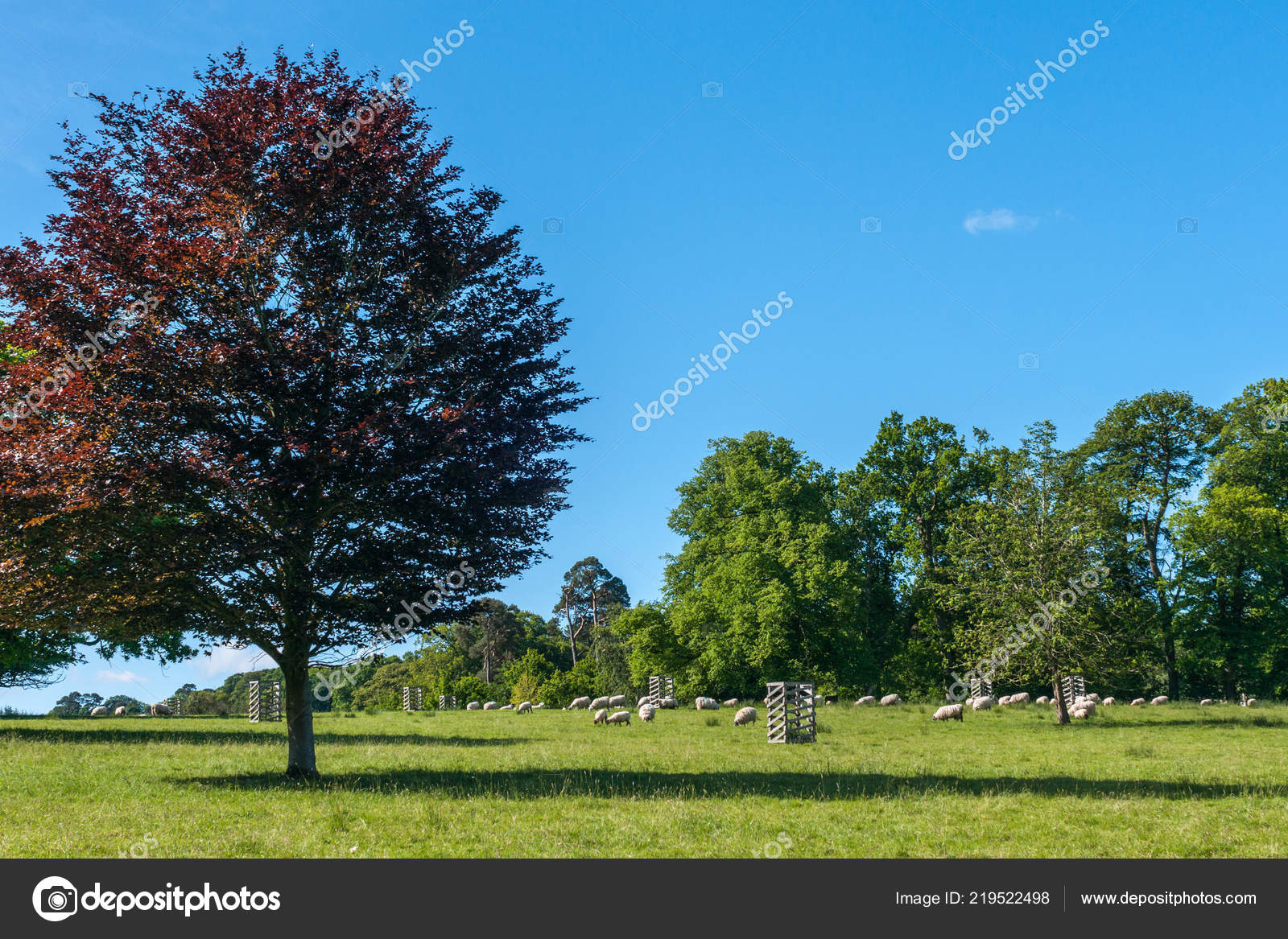 085862712e Cumnock Ayrshire Scotland June 2012 Bucolic Scene White Sheep Grazing —  Stock Photo