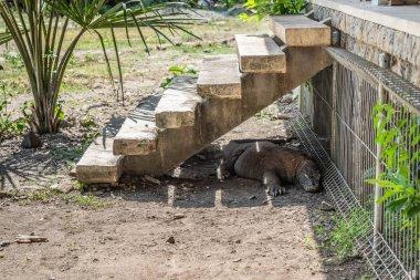 Komodo Dragon waiting under stairway at Komodo National Park, In