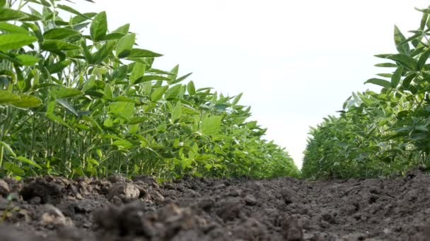 Agriculture, green cultivated soy bean plants in field with breeze, low angle video, spring time