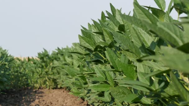 Agriculture, green cultivated soy bean plants in field with breeze, low angle 4K video, spring time
