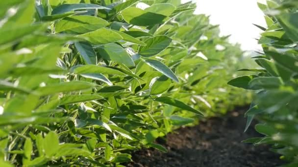 Agriculture, closeup of green cultivated soy bean plants in field with breeze, low angle 4K video, spring time