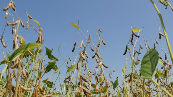 Closeup of soybean crop, soy plants in field with blue sky