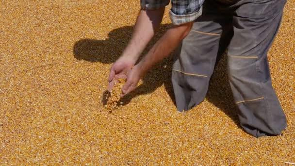 Sklizeň kukuřice, farmář vyšetřující haldy plodiny, držení a nalévání semen