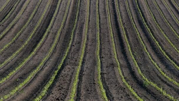 Řady mladých zelených kukuřičných rostlin v oblasti perspektivy, zemědělství na jaře