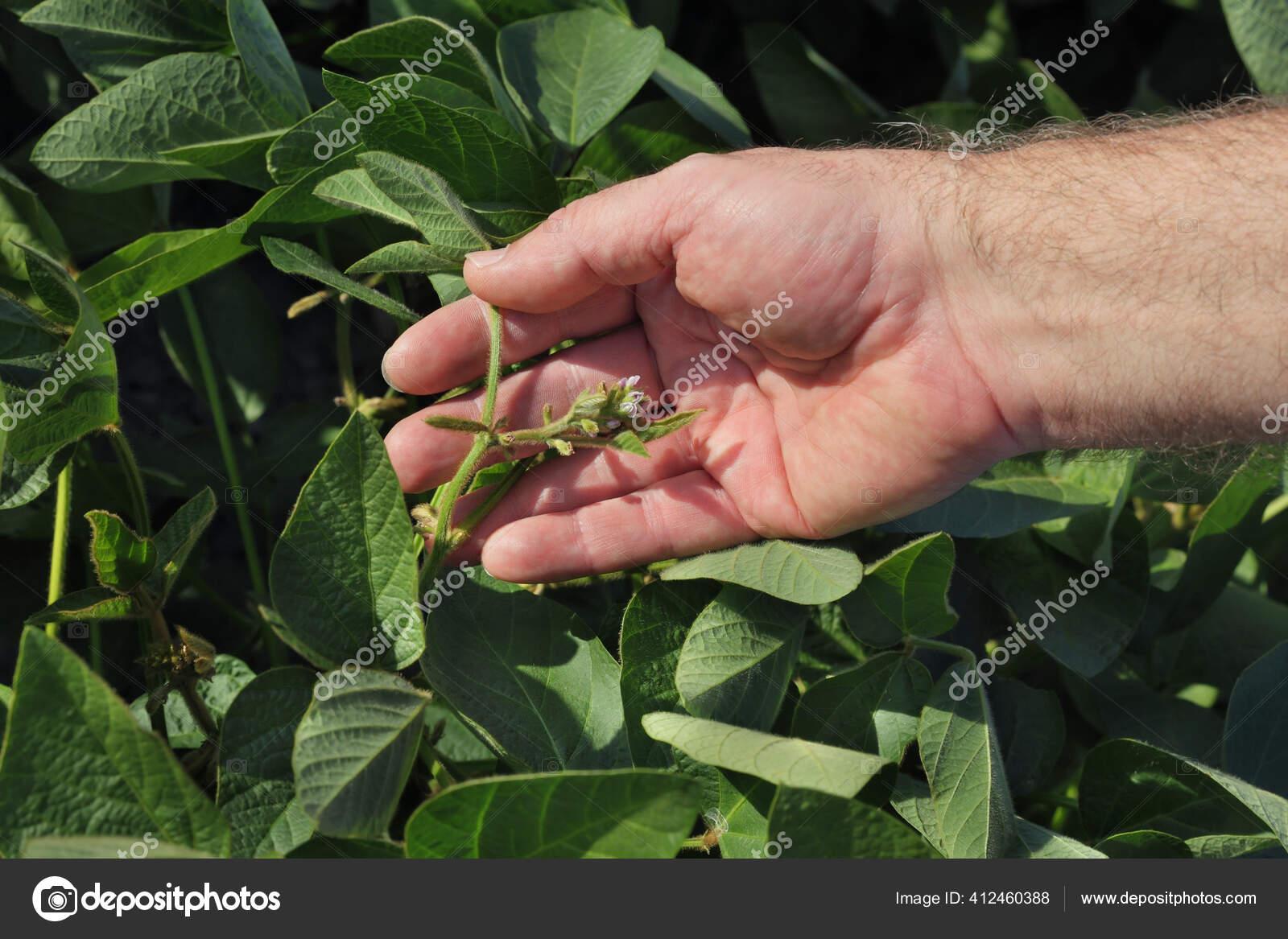 Petani Atau Agronomis Memeriksa Tanaman Kedelai Hijau Lapangan Dekat Tangan Stok Foto C Simazoran 412460388