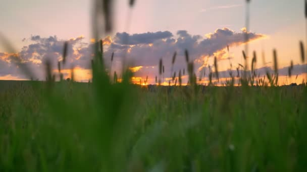 Moving footage with drone of beautiful sunset above wheat or rye field, amazing pink sky with clouds, aerial view
